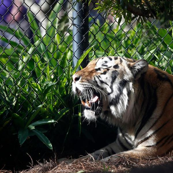 LSU-s tiger mascot diagnosed with cancer_54943127-159532