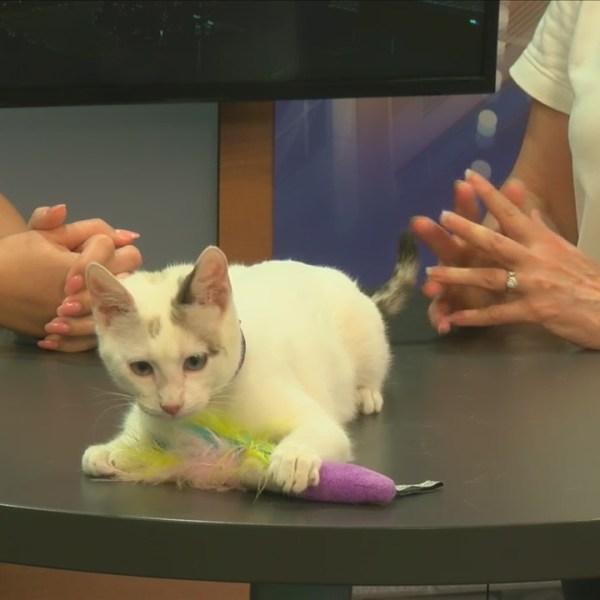 Cat Haven: Meet Cotton