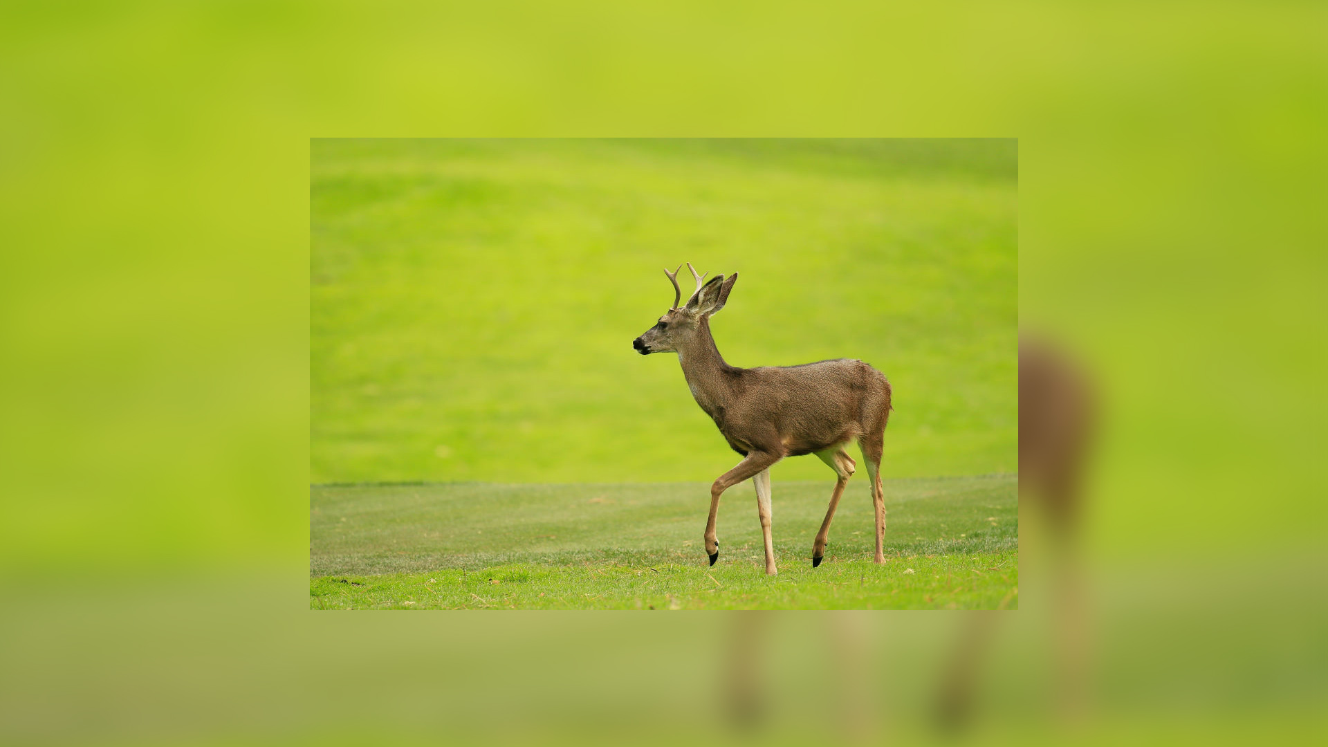 Deer Getty_1555519038120.jpg.jpg