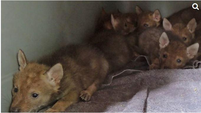 Coyotes rescued_1557484576667.JPG.jpg