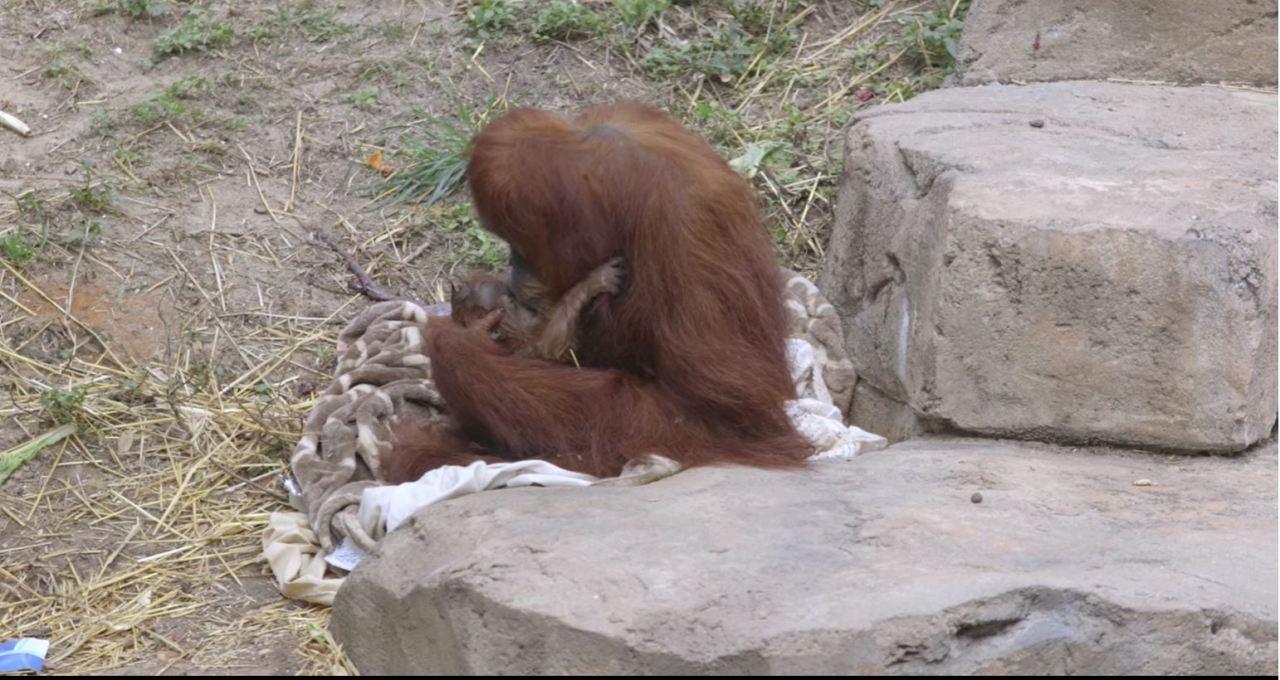 Audubon Zoo announces birth of critically endangered Sumatran orangutan
